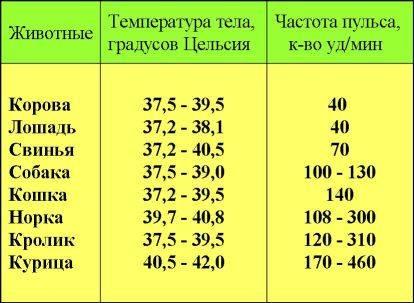 Температура тела свиньи: какой она должна быть в норме?