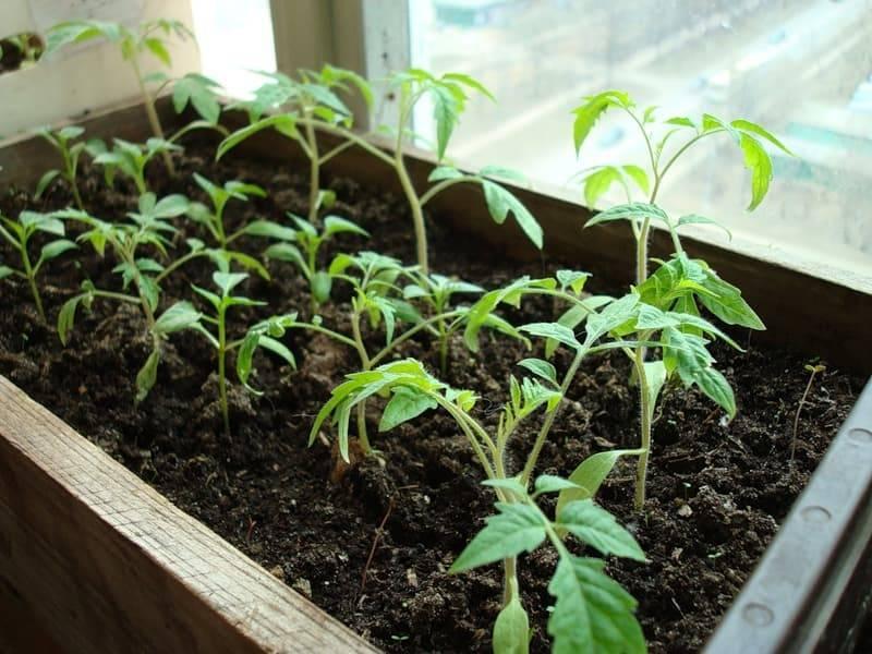Как вырастить рассаду в торфяных таблетках – пошаговый мастер-класс с фото
