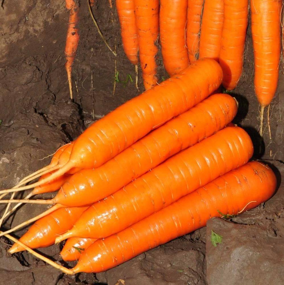 Морковь кантербюри f1 — описание сорта, фото, отзывы, посадка и уход