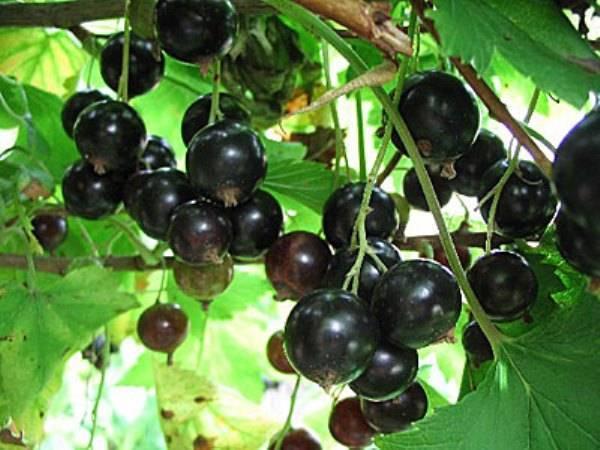 Смородина вологда: описание сорта и характеристики, выращивание и уход с фото