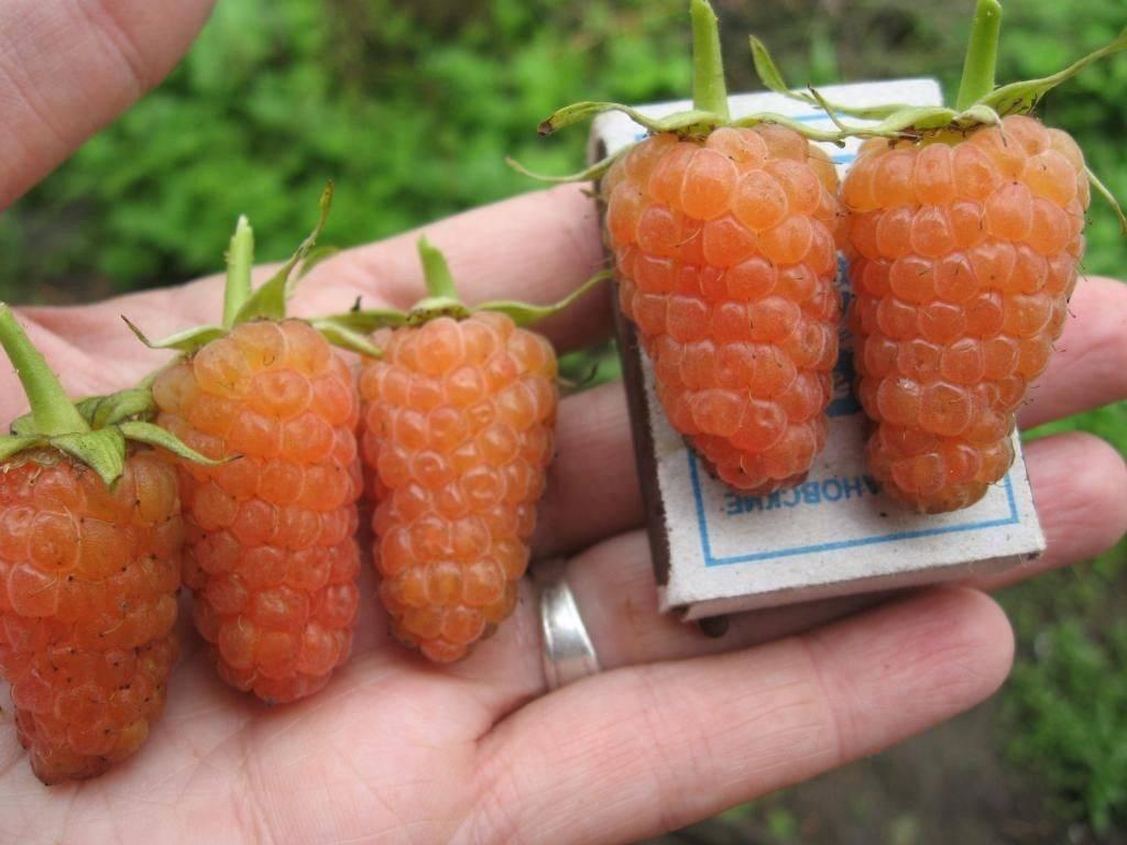 Характеристика малины «оранжевое чудо»