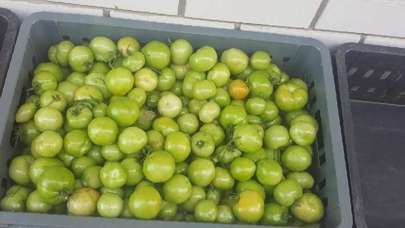 Чтобы покраснели зеленые помидоры нужно немного…