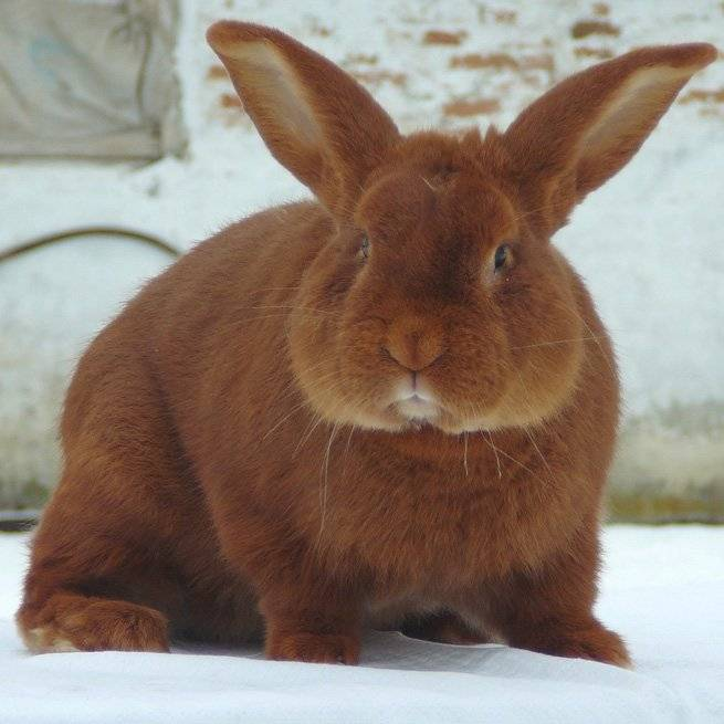 У кроликов в ушах короста — чем лечат в домашних условиях: причины болезни