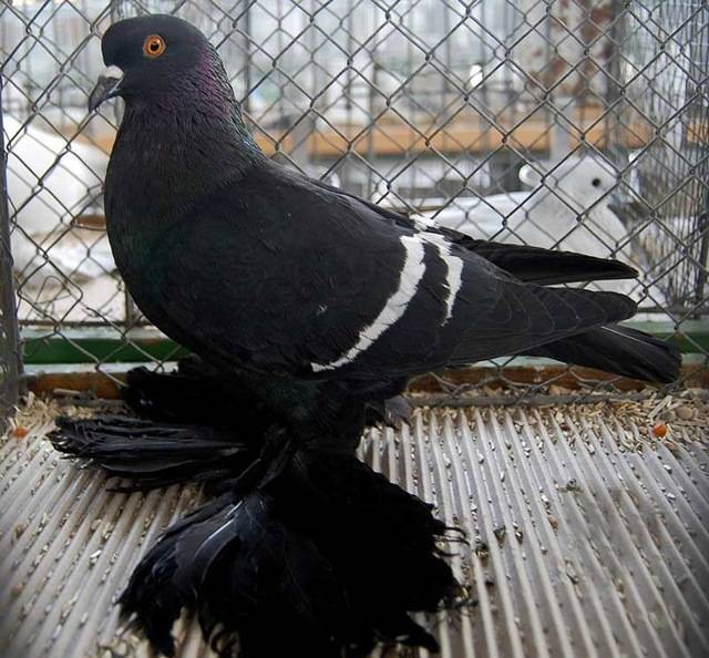 Голуби (47 фото): описание и разведение. как выглядит городской голубь и как они высиживают яйца? кормушки и домики для птиц. где они живут зимой?