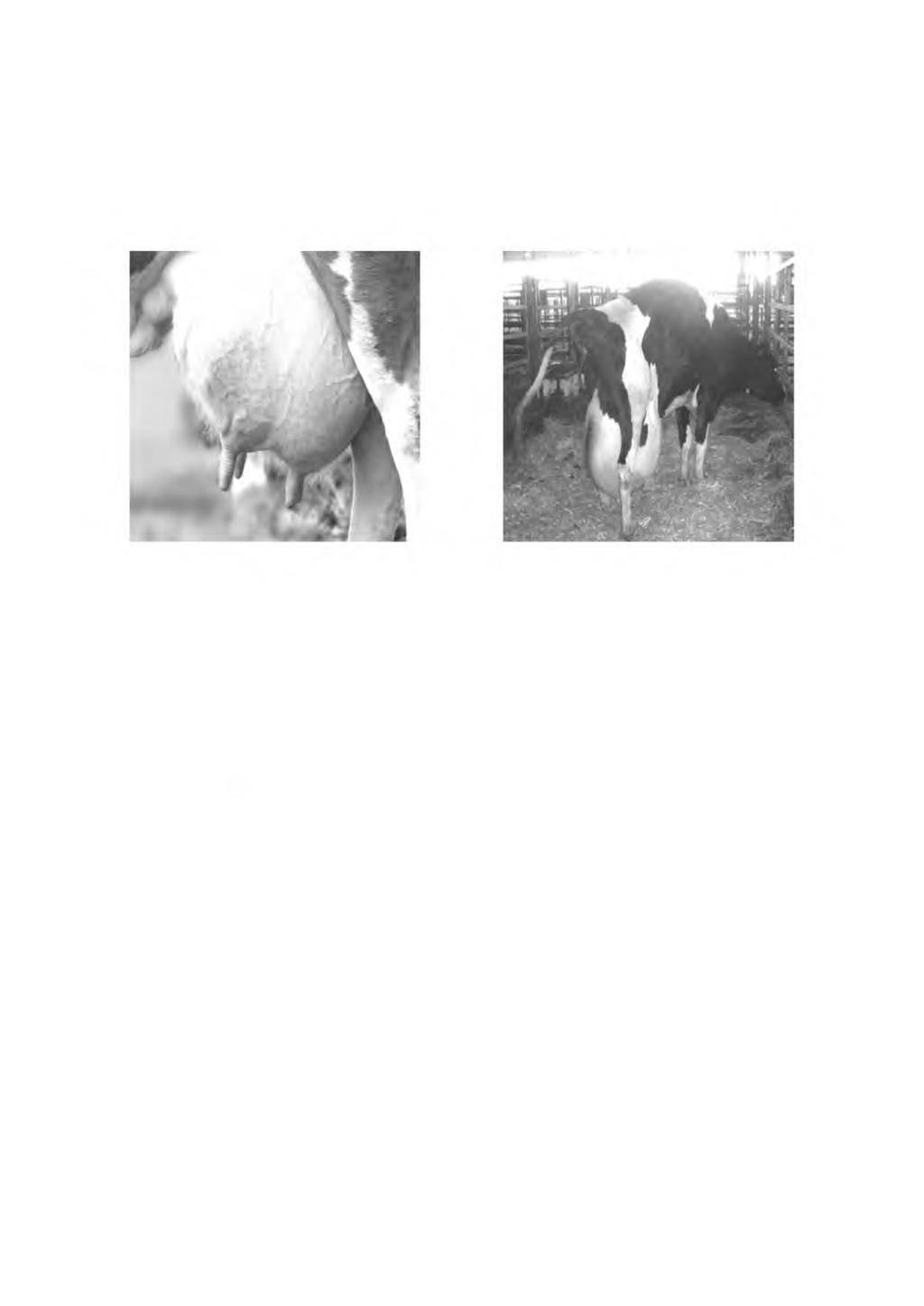 Болезни вымени у коровы