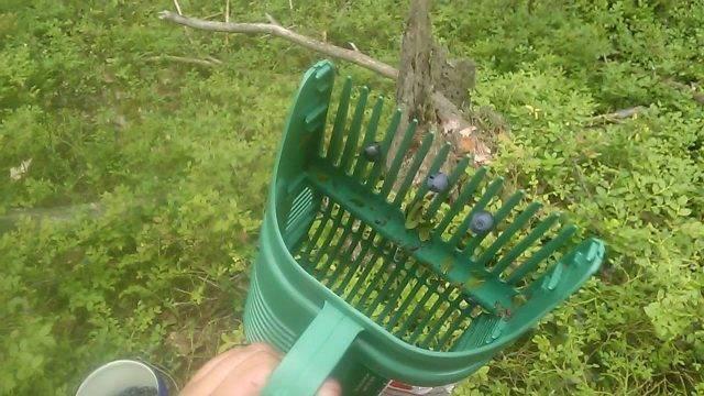 Как очистить бруснику от мусора