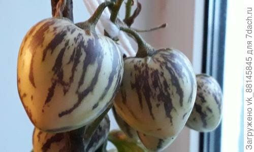 Выращивание редиса в домашних условиях
