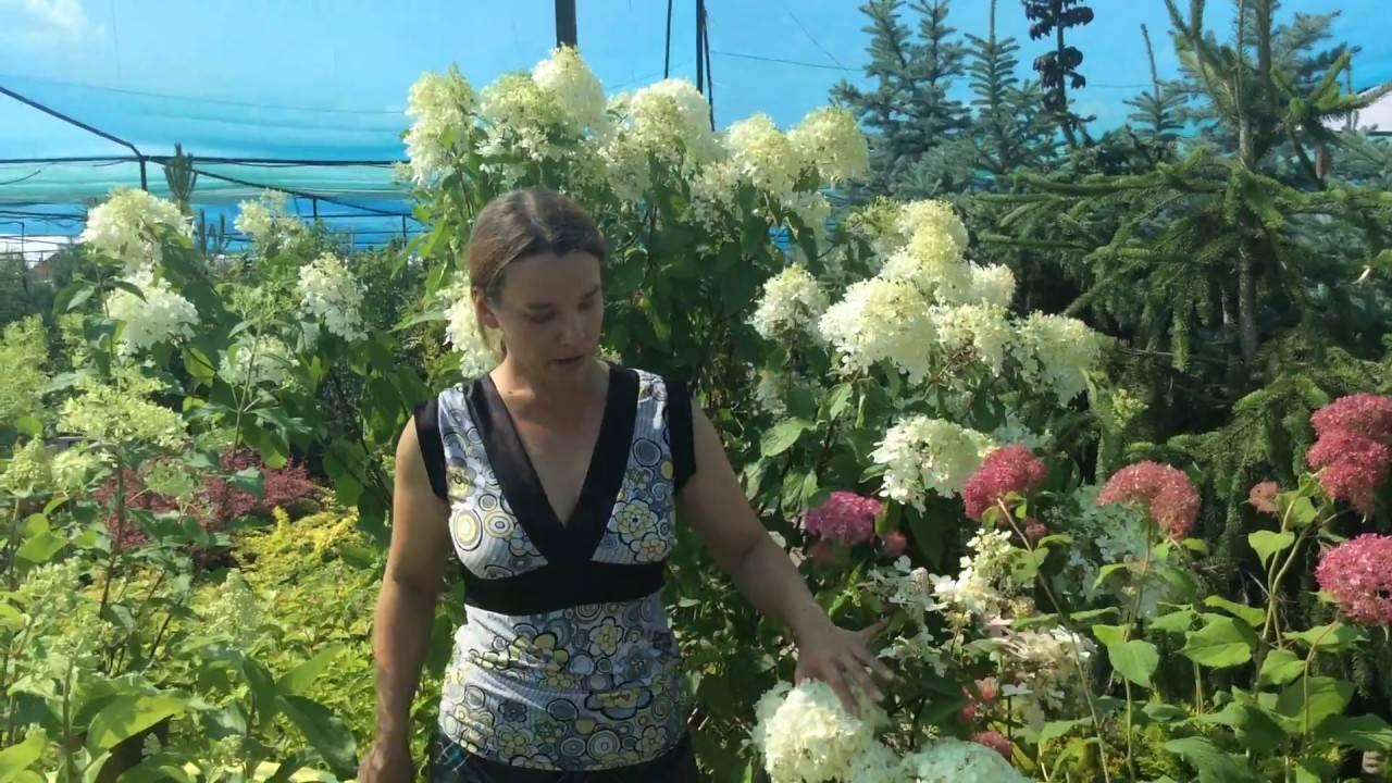Гортензия диамантино: ботаническое описание сорта цветка и уход за ним