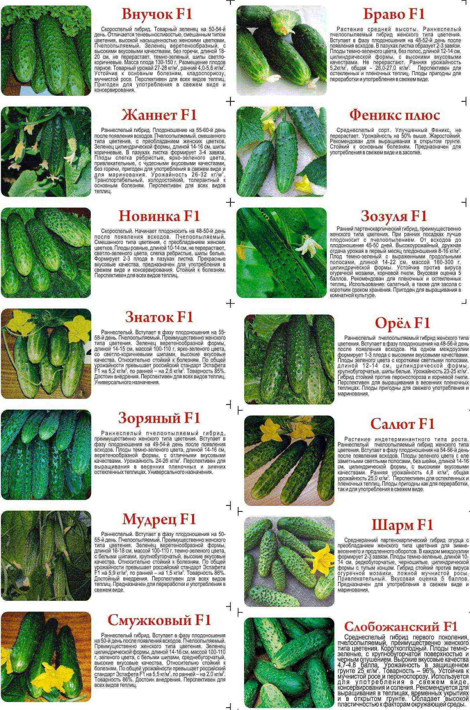 Тепличные сорта огурцов: описание и фото, самые урожайные, пучковые и кустовые