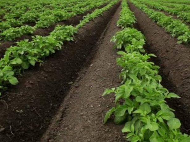 Голландская технология выращивания картофеля на даче