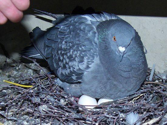 Яйца фазана — полезные свойства и вред