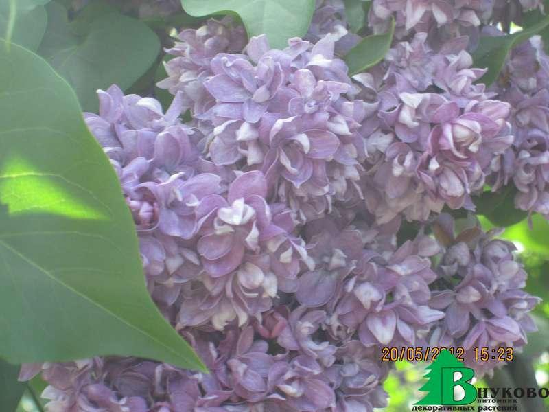 Сирень: выращивание в открытом грунте, посадка и уход, фото, виды и сорта