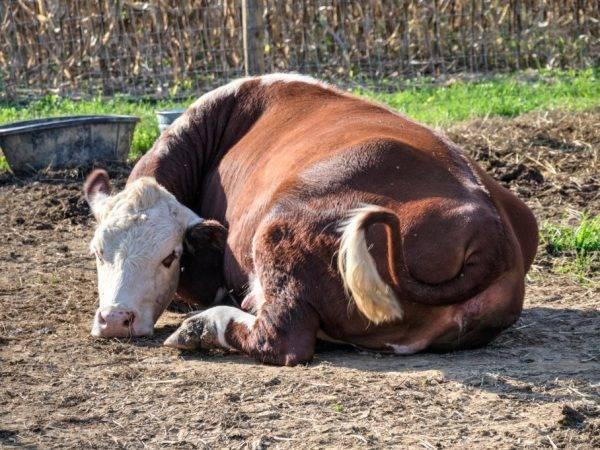 Повышение удоя молока у коровы: основные правила, особенности составления рациона