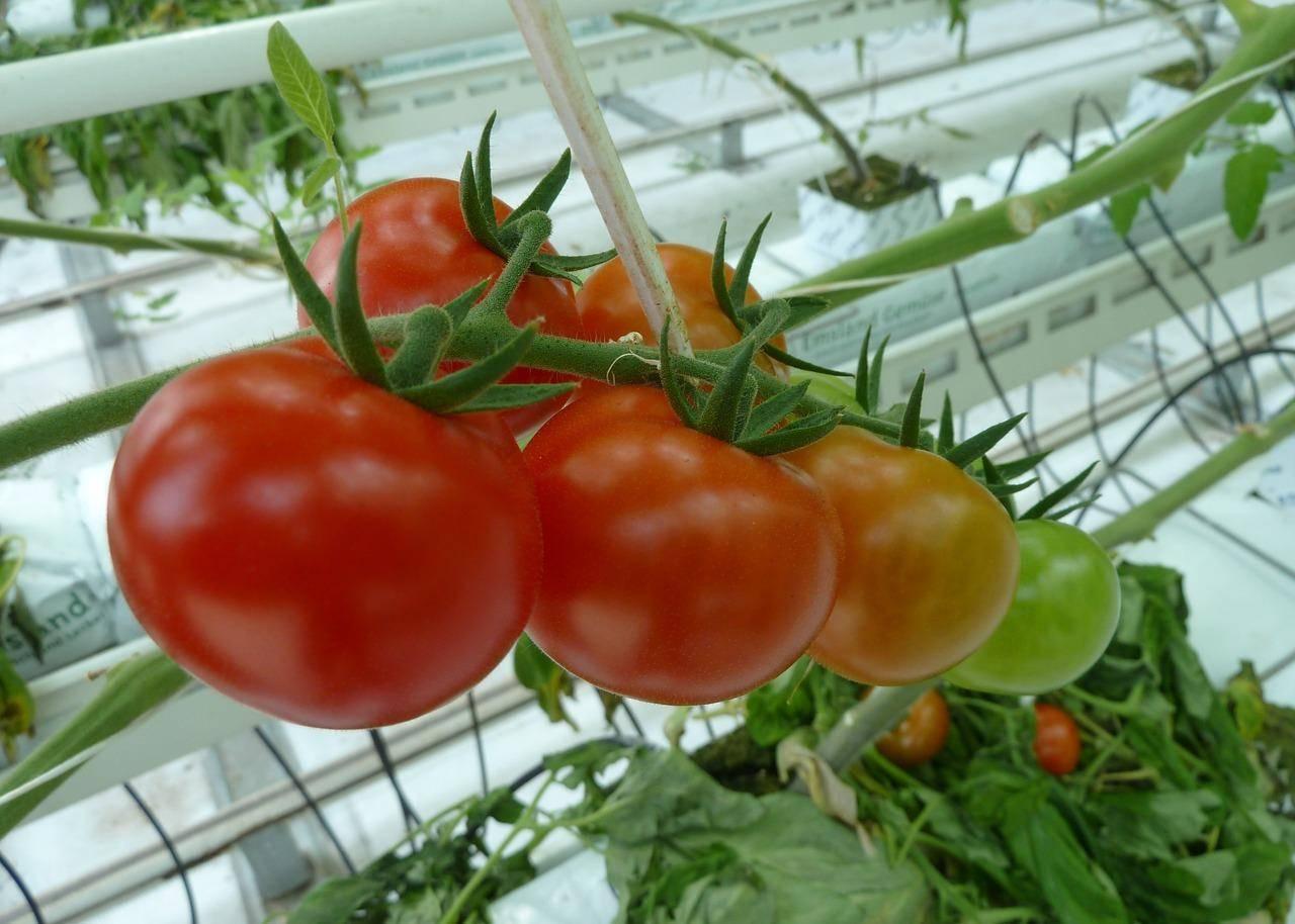 Высадка рассады томатов в открытый грунт: сроки и правила
