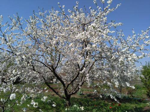 Почему не плодоносит абрикос | советы опытных садоводов как добиться хорошего урожая (115 фото + видео)