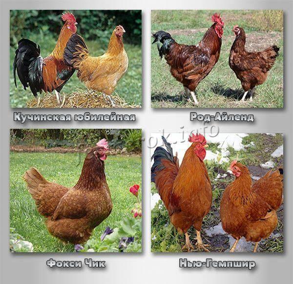 Породы кур, которые несут яйца голубого и зеленого цвета