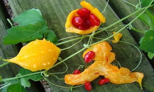 Полезные свойства и применение растения момордика