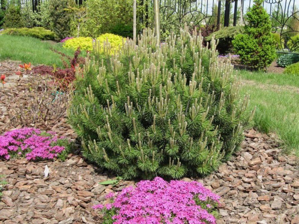 Посадка горной сосны весной и осенью: уход и выращивание в собственном саду