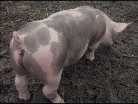 Свиньи пьетрен: характеристика, фото, отзывы о породе