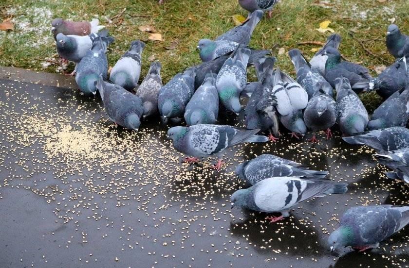 Чем питаются голуби и как правильно их кормить?