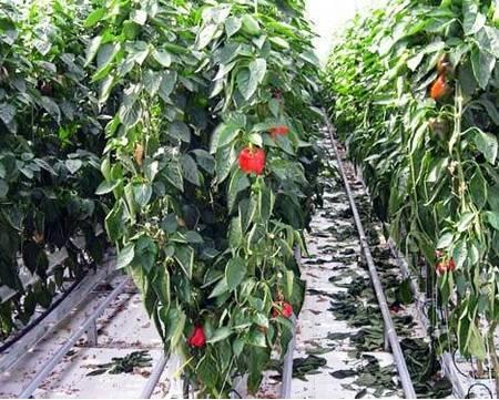 Как вырастить рассаду перца из семян в домашних условиях