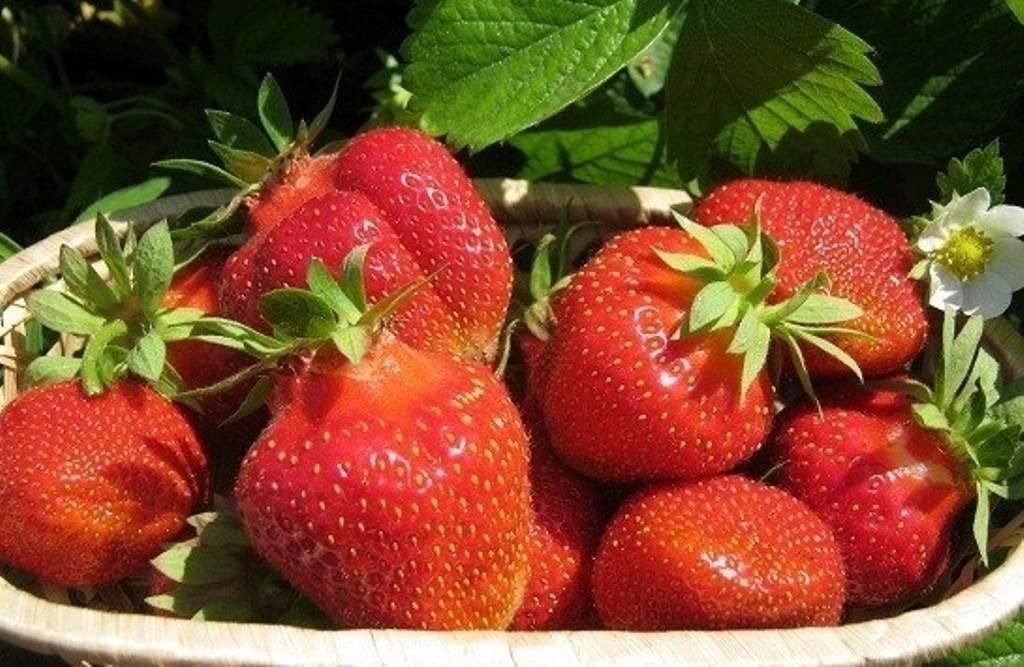 Клубника джоли — элегантная итальянка: чем хорош сорт, на что обратить внимание при посадке и выращивании