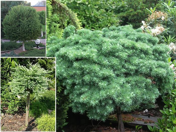 Лиственница японская larix kaempferi. какую лиственницу посадить в саду: выбор сорта. уход за лиственницей японской