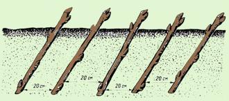 Белая смородина: посадка и уход, обрезка, описание сортов