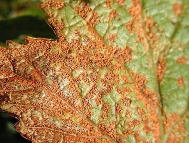 Красные пятна на листьях смородины: что за болезнь, чем лечить