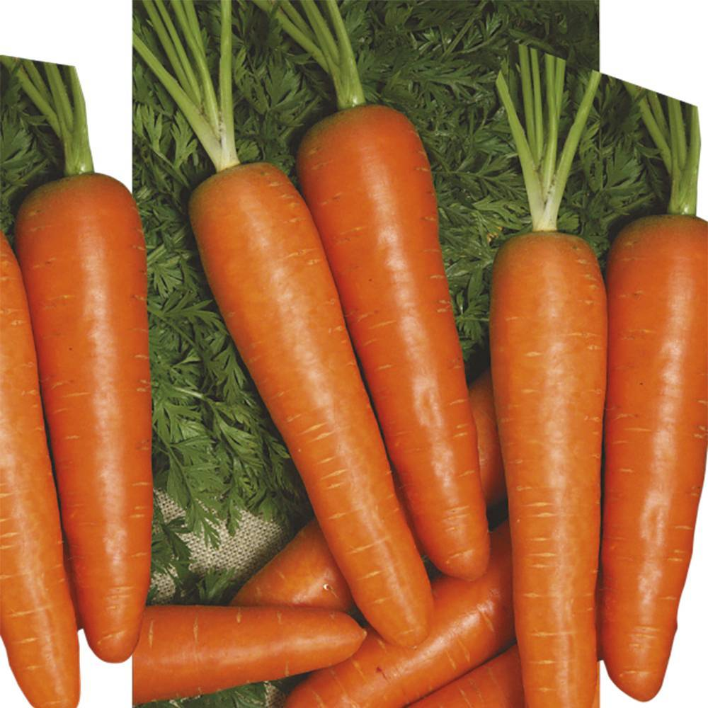 Особенности выращивания и ухода за морковью берликум роял