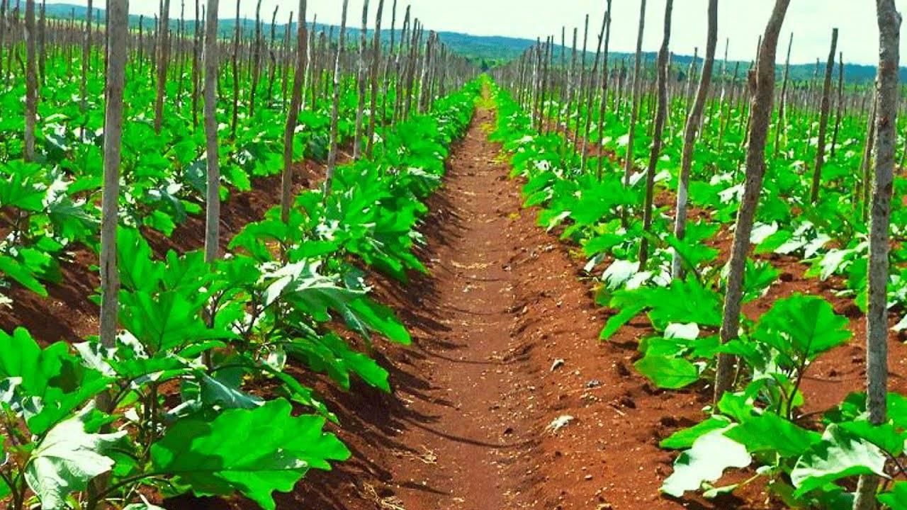 Как вырастить баклажаны в открытом грунте - подробная инструкция!