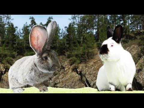 Кролики ризен (26 фото): описание немецкой породы, различие с фландером, характеристика животных с окрасом голд, белый и голден