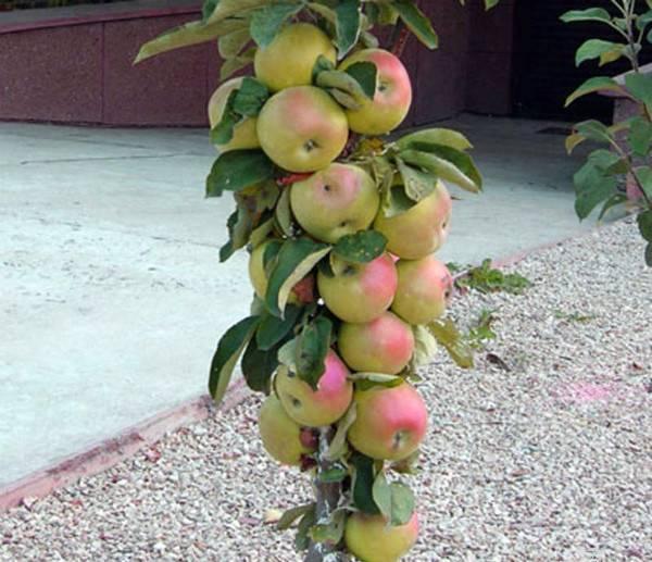 Колоновидная яблоня сорта президент: описание и характеристика сорта, достоинства и недостатки, особенности посадки и ухода + фото и отзывы