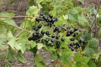 Смородина черная сокровище — описание сорта, фото, отзывы