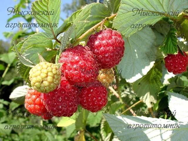 Малина мираж: характеристика, особенности выращивания