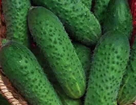 Огурец маринда: неприхотливый вкусный корнишон