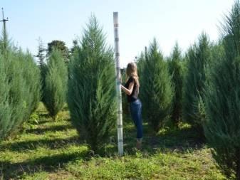 Можжевельник скальный блю эрроу (juniperus scopulorum blue arrow)