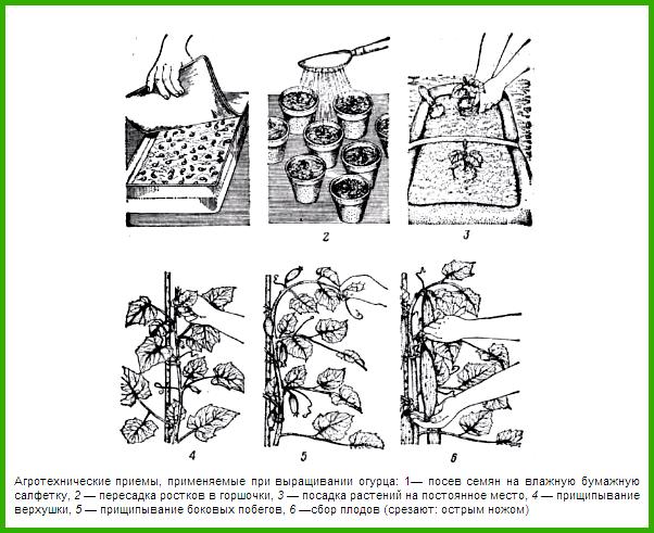 Огурцы в теплице: выращивание, посадка и уход, болезни и вредители