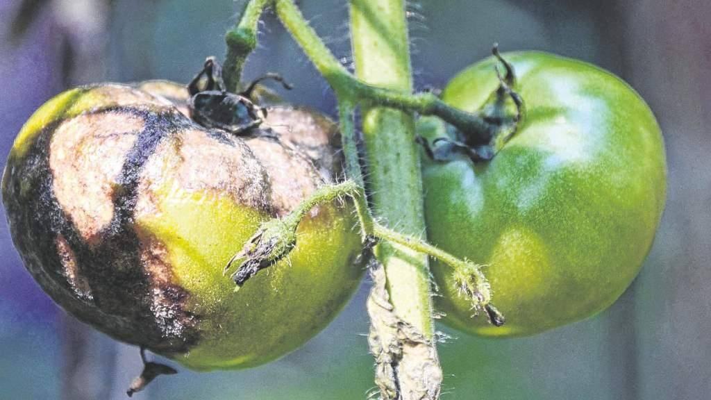 Фитофтора на помидорах в дачной теплице: как бороться и побеждать