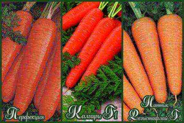 Сорта крупной моркови