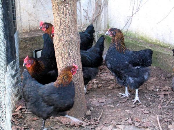 Где купить инкубационное яйцо куры барневельдера – особенности породы