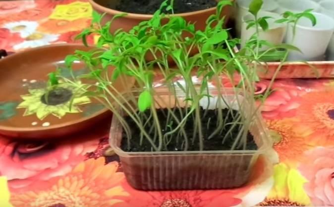 Рассада томатов перерастает: причины и исправление ошибок