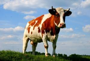 Сколько желудков у коров? строение пищеварительной системы домашнего скота. как работает желудок коровы