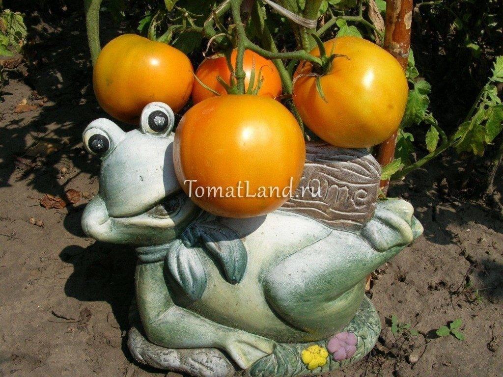 Помидоры сорта «апельсин» – урожайность, фото и отзывы