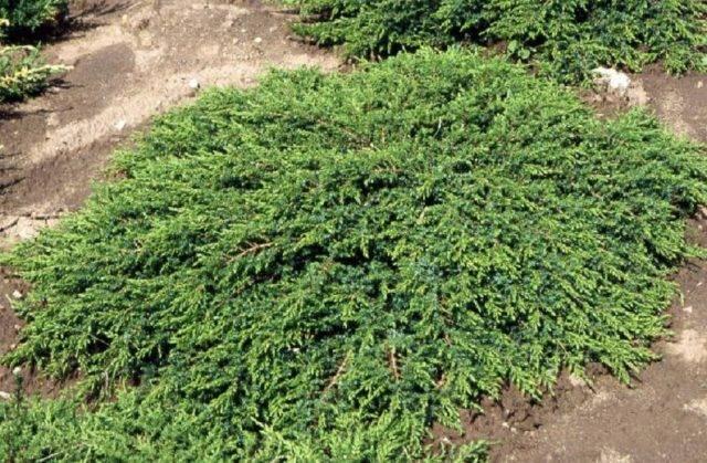Неприхотливый можжевельник репанда: островок вечной зелени на вашем участке