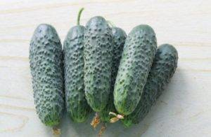 Огурец из голландии – пасалимо f1. описание, методика выращивания, достоинства и минусы