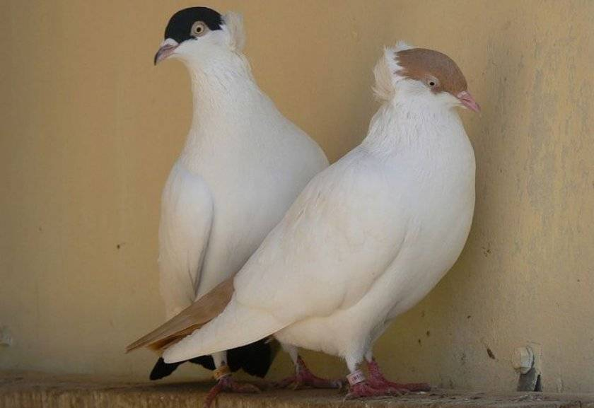 Характеристика голубей породы монах