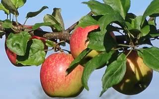 Яблоня слава победителям: описание сорта, химический состав плодов, правила посадки и ухода, сбор и хранение урожая, отзывы