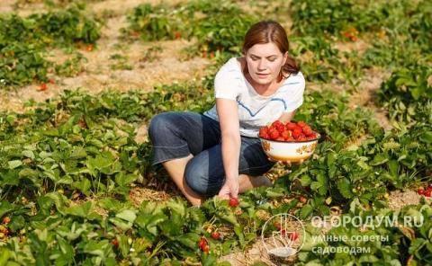 Особенности выращивания сорта клубники фестивальная