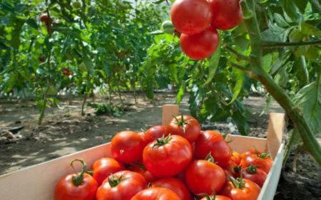 Квадрис — фунгицид, инструкция по применению для винограда
